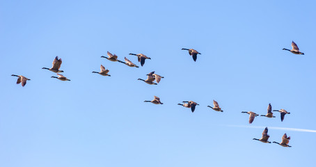 "Canadian Geese in Flight. Migrating Canada Geese live in a great many habitats near water, grassy fields, and grain fields. They often fly in a ""V"" formation for aerodynamic optimization."