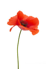 Deurstickers Poppy bright red poppy flower isolated on white