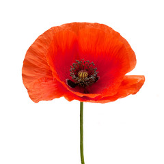 Photo sur Toile Poppy bright red poppy flower isolated on white