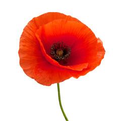 Poster Poppy bright red poppy flower isolated on white