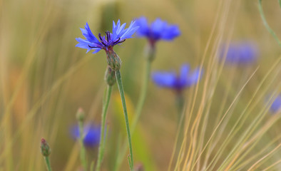 Bee flies up to a blue wild flower