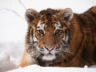 Detail of head of youg siberian tiger in winter - Panthera tigris altaica - endangered in IUNC Red List