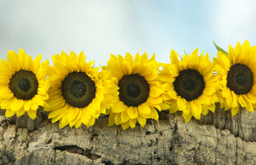 Five sunflowers on a wooden log with a blue background