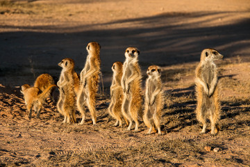 Meerkat family in Kgalagadi National Park, South Africa