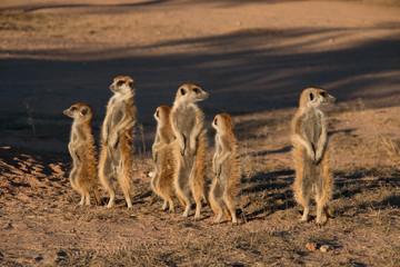 Meerkat family in Kgalagadi National Park, South Africa