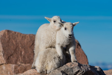Baby Mountain Goat Lambs Playing on a Rocky Cliff