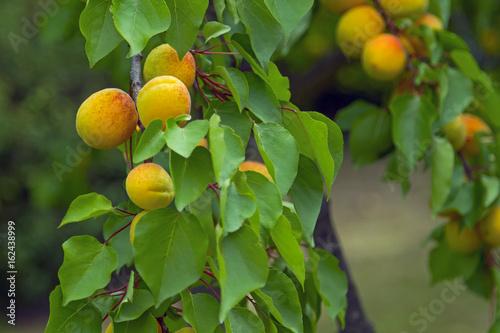 Aprikosenbaum Stock Photo And Royalty Free Images On Fotoliacom