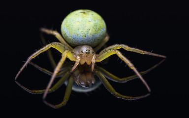 Close-up of a Araniella cucurbitina spider.