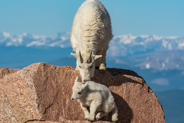 Mountain Goat Mother Encouraging Lamb on Top of Rocky Mountain