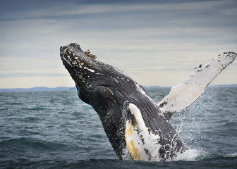 A humpback whale jumping in Greenland.