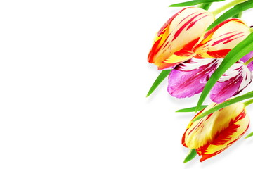 tulip flower in white background with text copy space