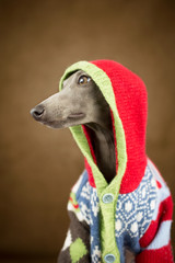 An Italian greyhound in a Christmas sweater.