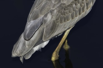 Feathers of a great blue heron.