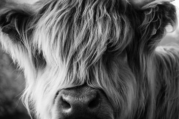 Close up of a Highland Cattle.