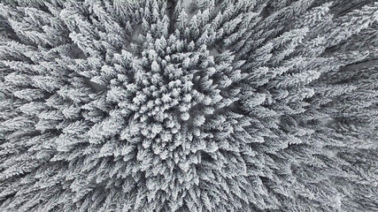 Aerial view of a frozen pine forest.