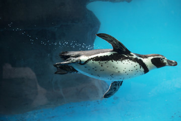 A penguin swimming underwater.