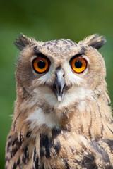 A hibou owl.