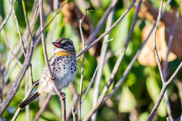 Spot backed Puffbird (Nystalus maculatus) - Mata de São João, BA Brasil