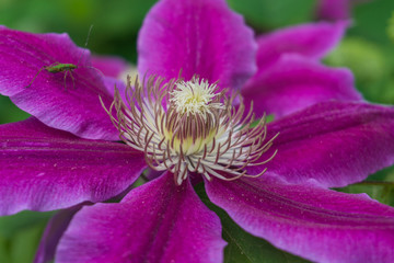 close up of magenta clematis with green bug