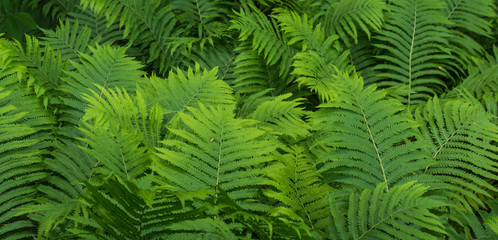 green ferns, example of greenery: the Panton color for 2017