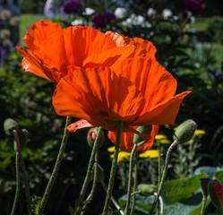 orange oriental poppies  in spring garden