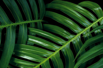 Tropical green leaf textures on black background, Monstera philodendron plant close up for wall art decoration.