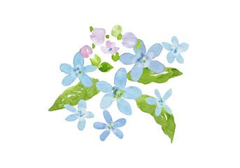 ブルースターの花 水彩イラスト
