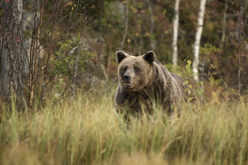 Brown Bear in Nordic forest