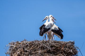 Ciconia ciconia. Jóvenes Cigüeñas Comunes o Blancas, en el nido.