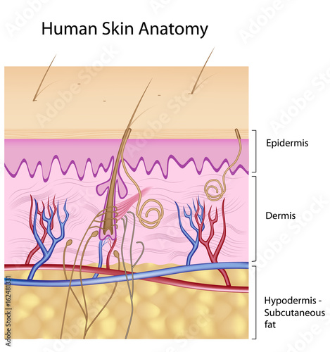 Human Skin Anatomy Unlabeled Stock Photo And Royalty Free Images