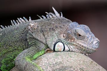 Ferme des crocodiles de Pierrelatte : Amphibiens et sauriens (Drôme-France)