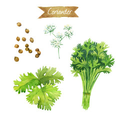 Coriander flowers, leaves and seeds isolated on white watercolor illustration