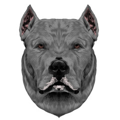 dog breed Dogo head looking right, sketch vector graphics color picture grey hair