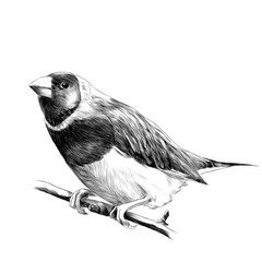 bird of finches sitting on a branch of a tree sketch vector graphics black and white drawing