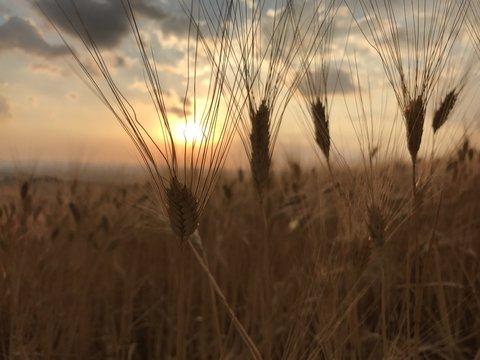 spighe grano al tramonto