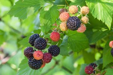 Black raspberry of berries ripening