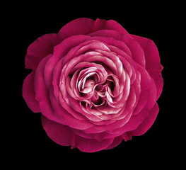 Crimson rose flower. black isolated background with clipping path. Nature. Closeup no shadows. Nature.