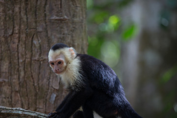 White faced capuchin monkey in Quepos, Costa Rica