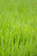 Young green paddy rice plants field. Green rice seedlings leaf