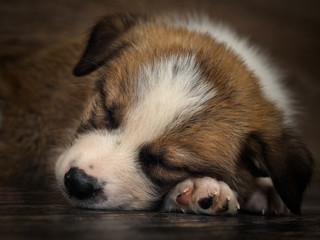 Puppy cute is sleeping. The dog on the floor