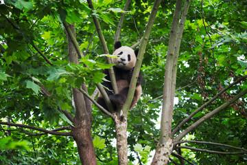 Zelfklevend Fotobehang Panda young panda in a tree