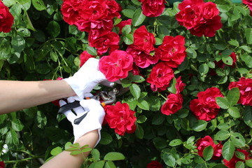 Fototapeta ogrodnik ucina kwiat sekatorem obraz