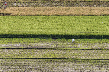 Rice field pattern