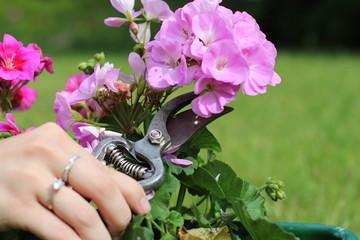 Fototapeta cięcie sekatorem fioletowego kwiatu obraz