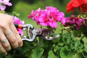 Fototapeta kobieta ucina różowy kwiat sekatorem obraz