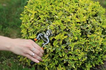 Fototapeta kobieta ucina roślinę sekatorem, ręka i zielony kwiat obraz