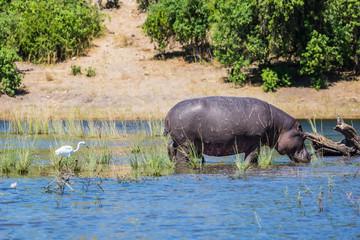 Hippopotamus shallow near shore of the river