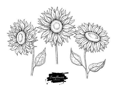 Sunflower flower vector drawing set. Hand drawn illustration isolated on white background.