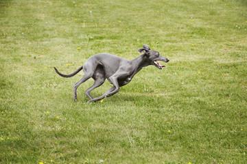 A pet dog, a sleek grey greyhound running across a lawn twisting his sleek body.