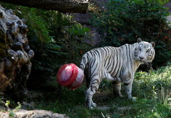 A white Bengal tiger looks at a frozen blood lollipop on a hot summer day at the Bioparco zoo in Rome
